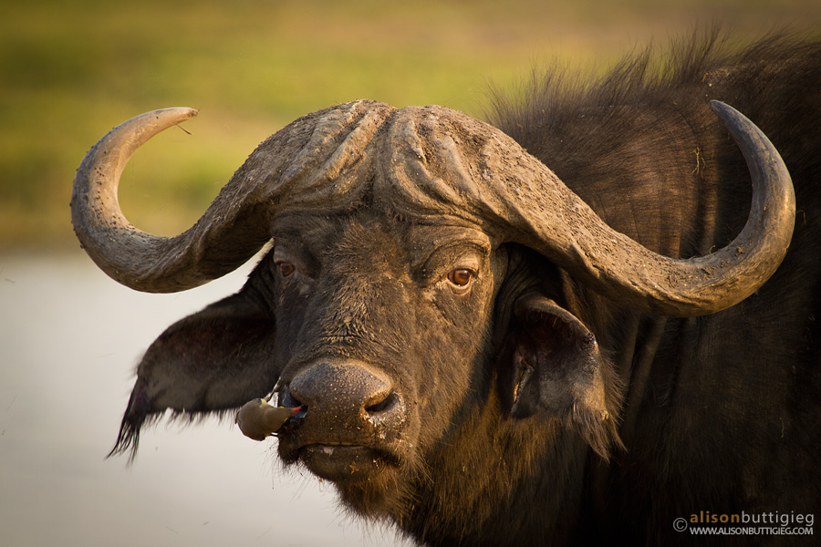 Buffalo, Chobe National Park, Botswana