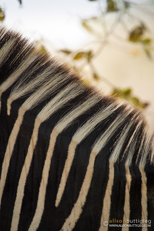 Zebra Stripes, South Luangwa, Zambia