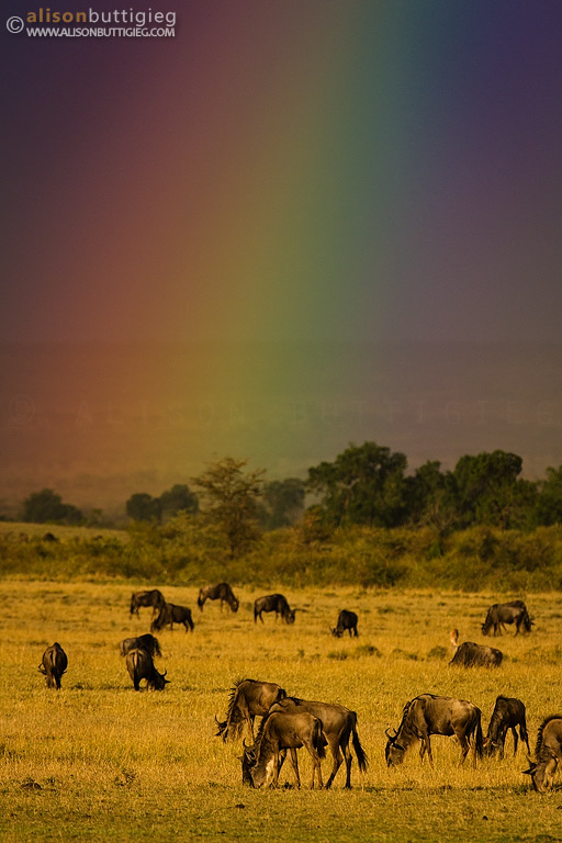 Wildebeest and Rainbow - Masai Mara, Kenya