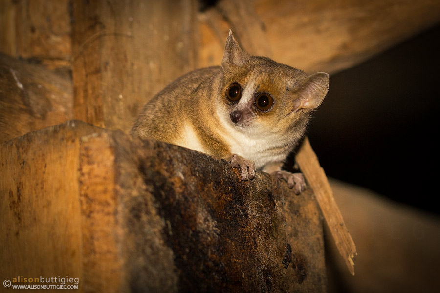Gray Mouse Lemur - Kirindy, Madagascar