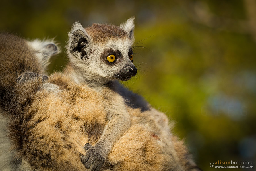 Ring Tailed Lemur Baby, Kirindy, Madagascar