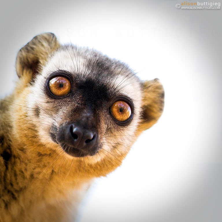 Brown Lemur - Kirindy, Madagascar