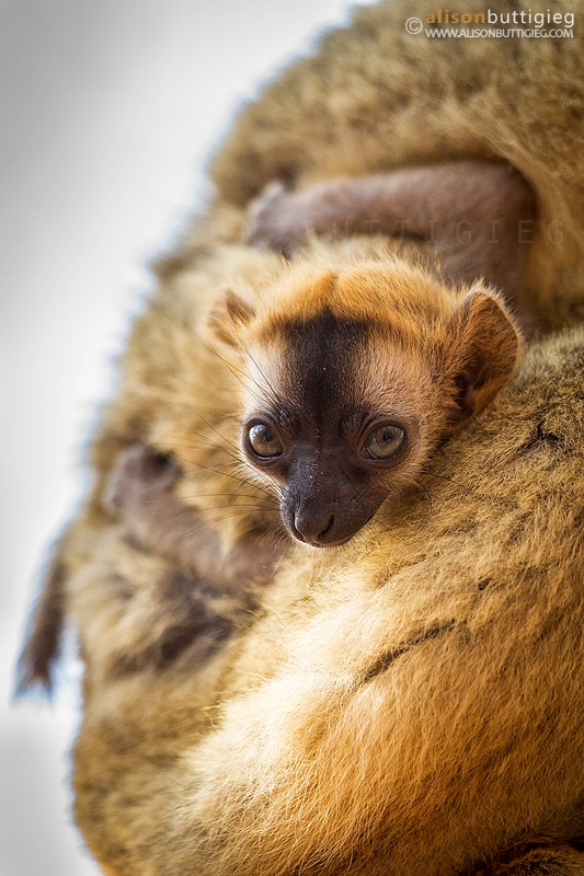 Baby Brown Lemur - Kirindy, Madagascar