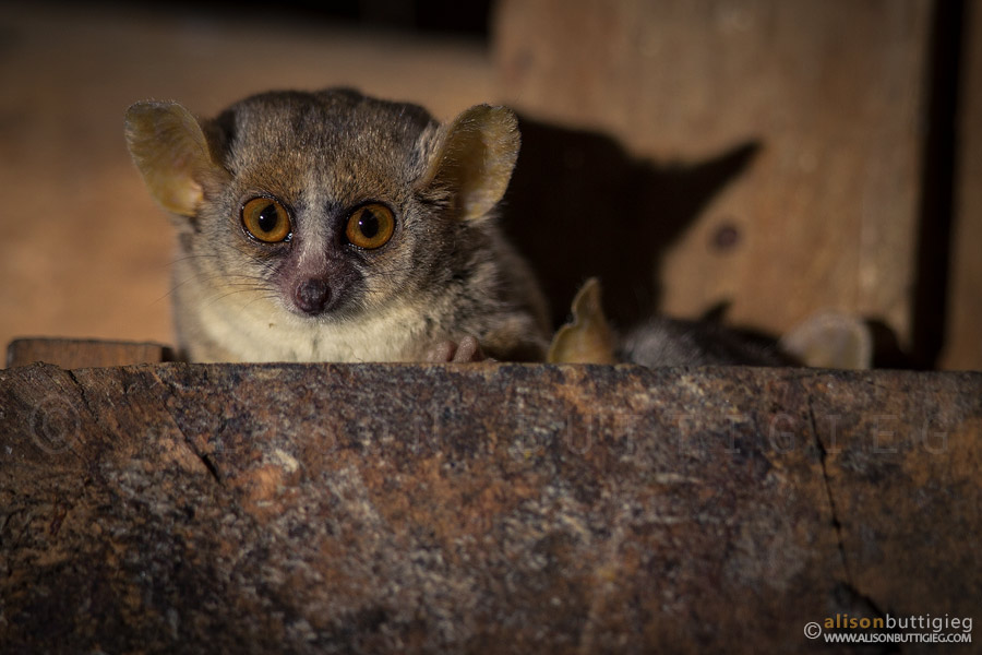 Gray Mouse Lemurs, Kirindy, Madagascar