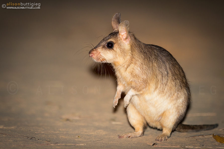 Giant Jumping Rat, Kirindy, Madagascar