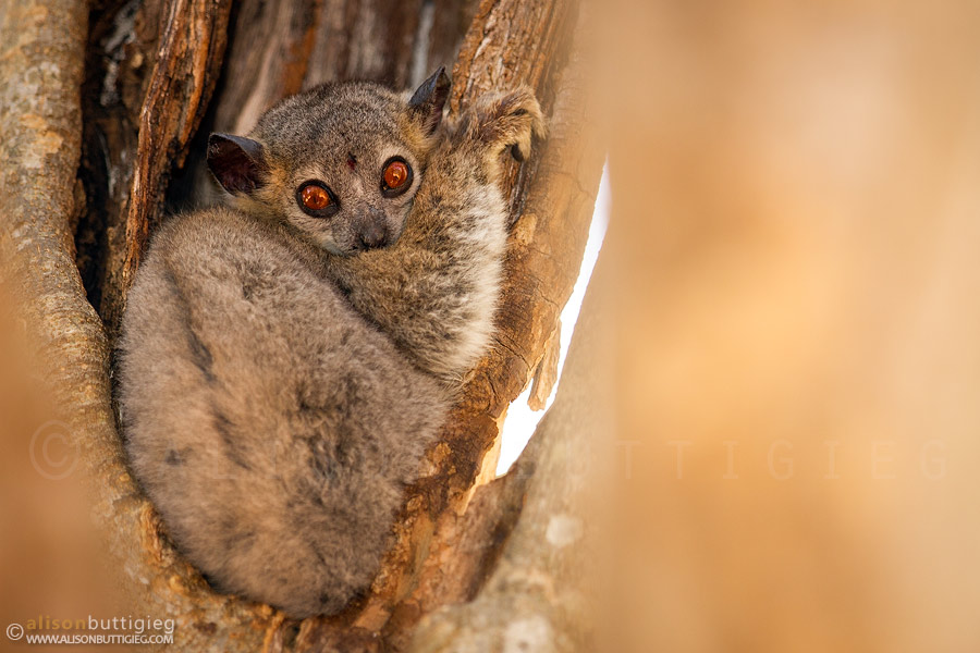 White Footed Sportive Lemur - Berenty, Madagascar