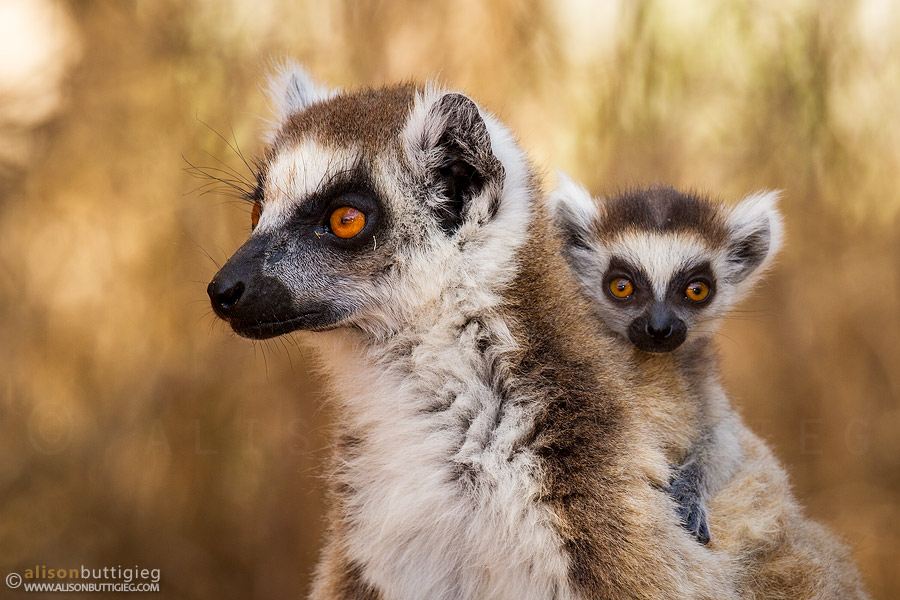 Ring Tailed Lemur - Berenty, Madagascar