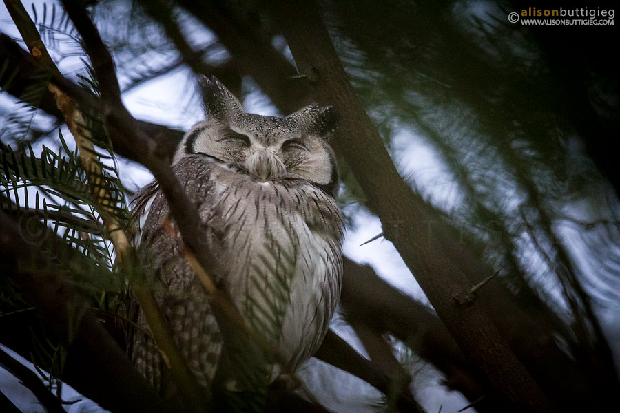 Proof photo of the owl at Nossob