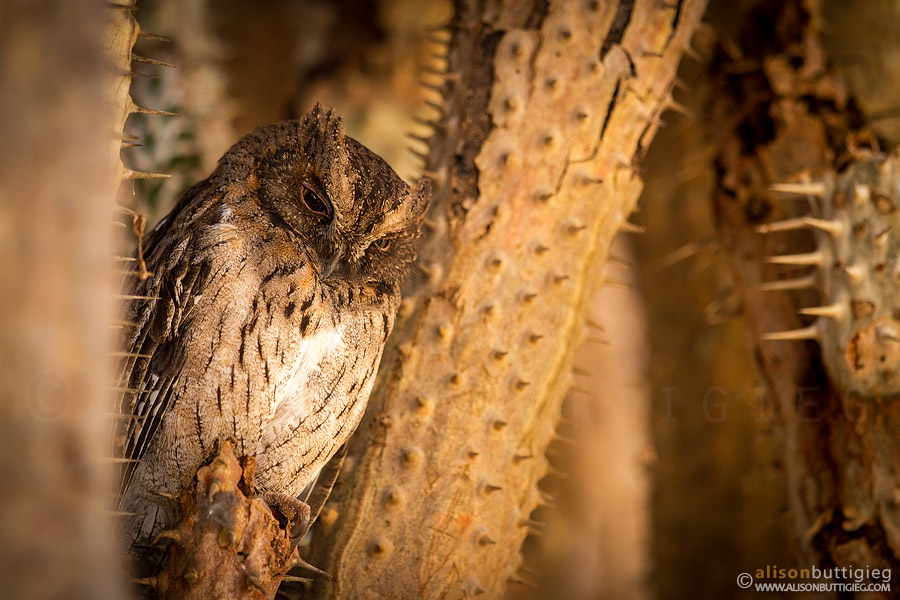 King of the Spines – Madagascar Scops Owl