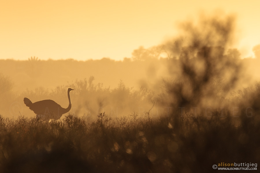 Ostrich near Polentswa in the beautiful golden morning light