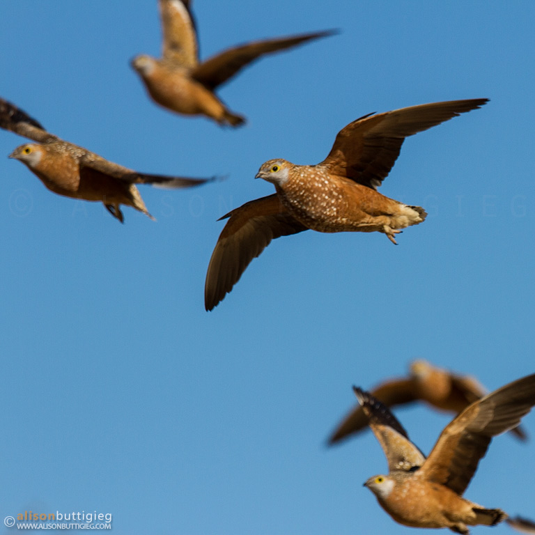 Sandgrouse flying to Cubitje Quap waterhole