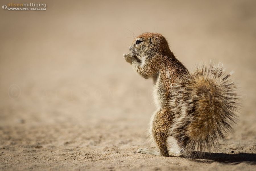 Ground Squirrel in Nossob camp