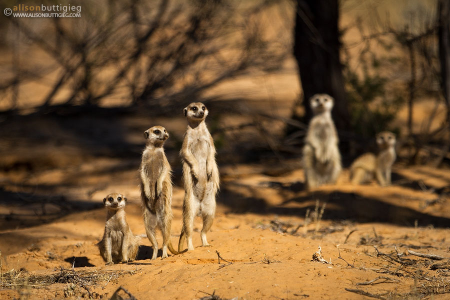 Meerkats along the Boso Trail