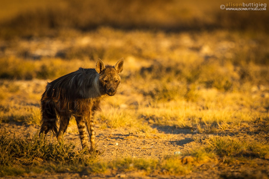 The Brown Hyena at the Mpaya Waterhole