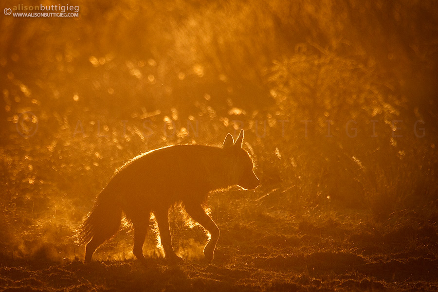 Brown Hyena at sunset