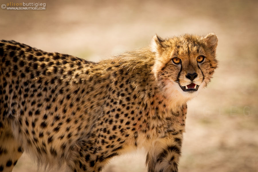 The amber eyes of cheetahs are so mezmerizing!