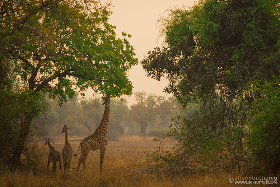 Giraffes - South Luangwa, Zambia