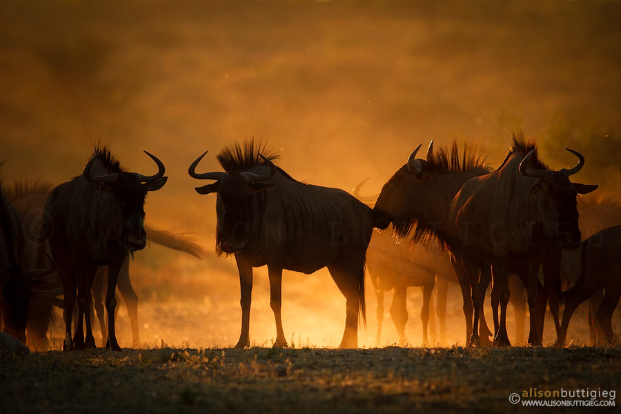 Wildebeest - Kgalagadi Transfrontier Park, South Africa