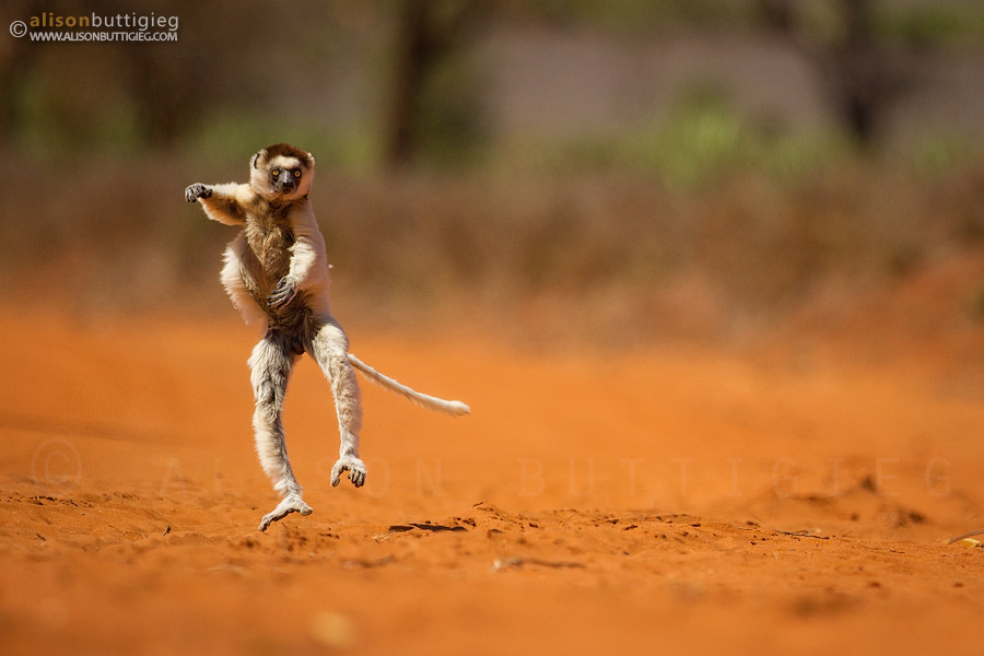 Strictly Come Dancing!  Verreaux's Sifaka, Berenty, Madagascar