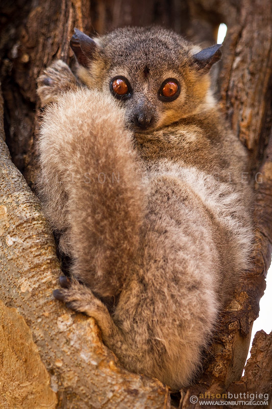 White-Footed Sportive Lemur - Berenty, Madagascar