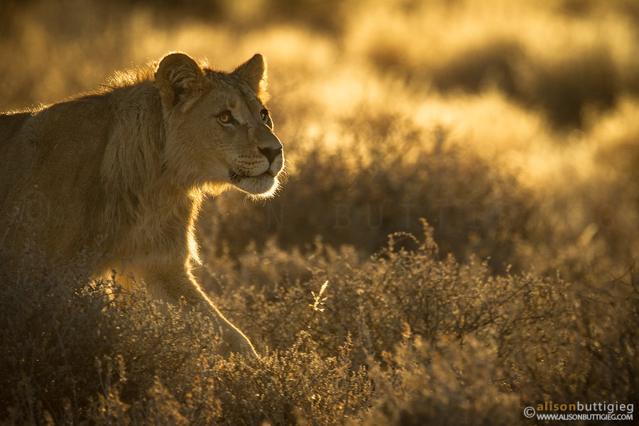 One of the young males approaching the rest of the pride