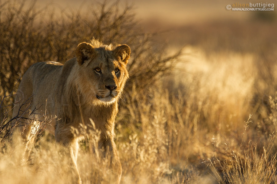 Another young male walks towards the pride