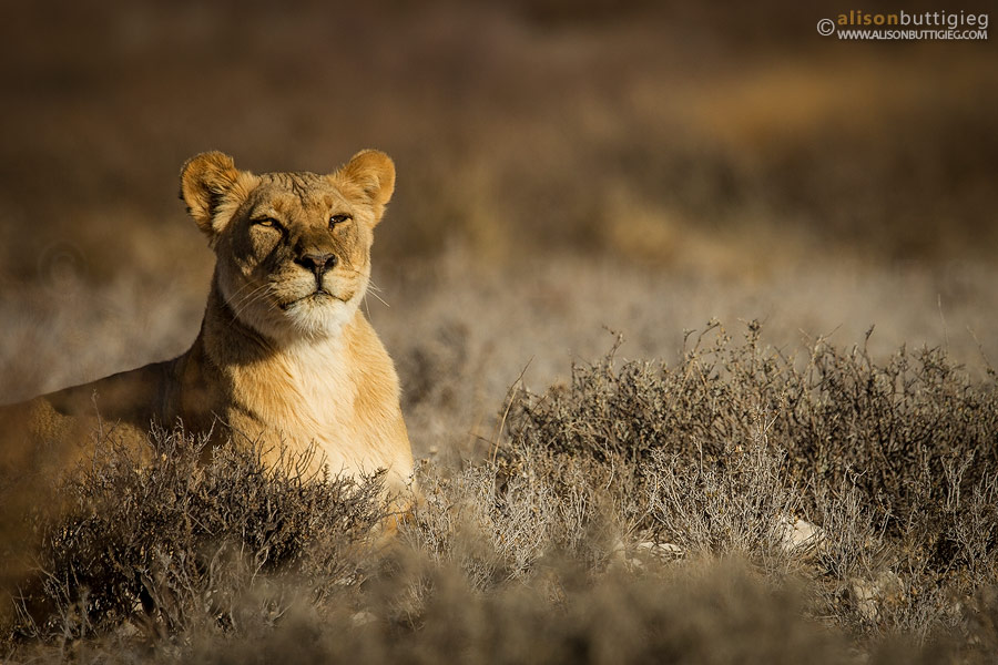 Smiling Lioness