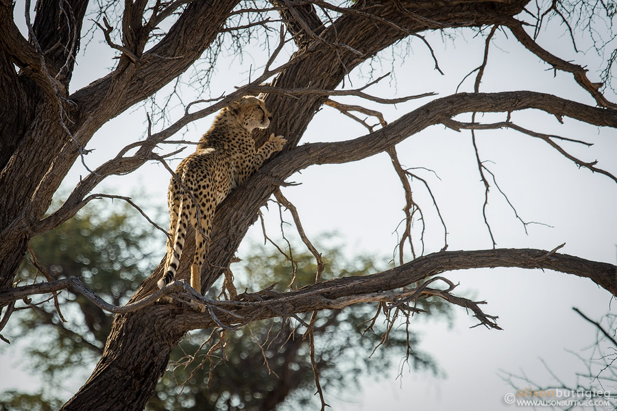 Now we have seen it all ... cheetah in a tree, lions in the shower and leopards on termite mounds