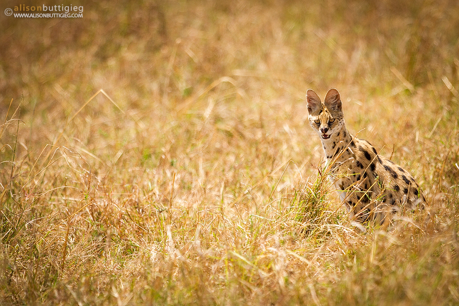 Serval on the Hunt, Masai Mara, Kenya