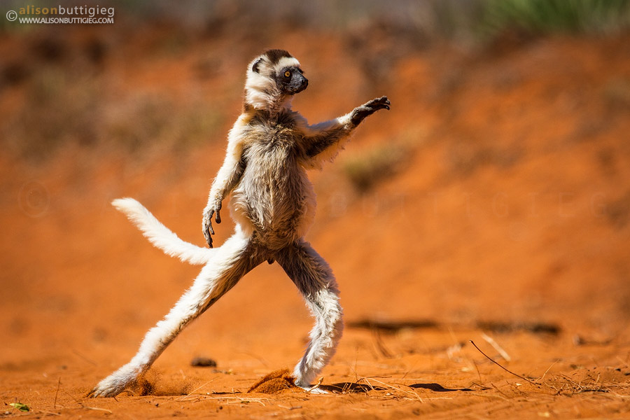 Dramatic Dancing Lemur