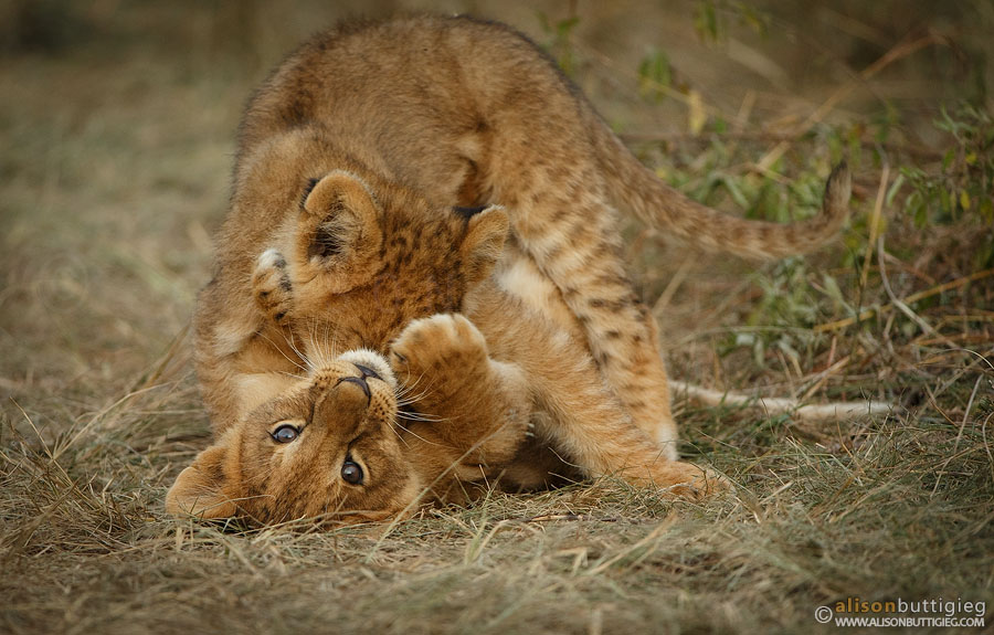 Playtime for the Rekero Cubs