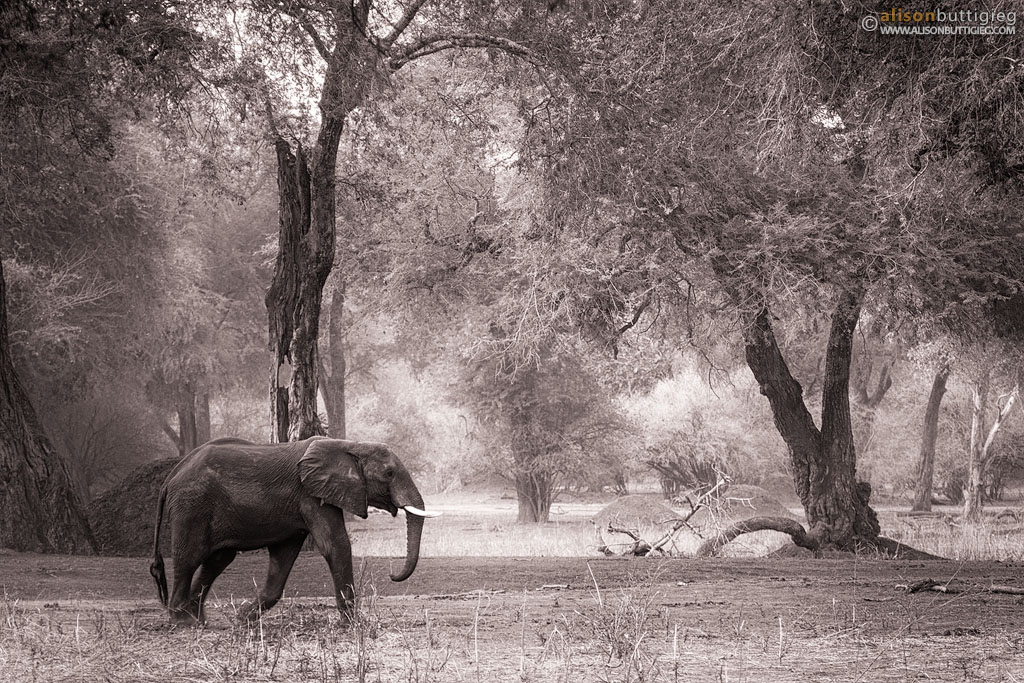 Elephant, Mana Pools, Zimbabwe