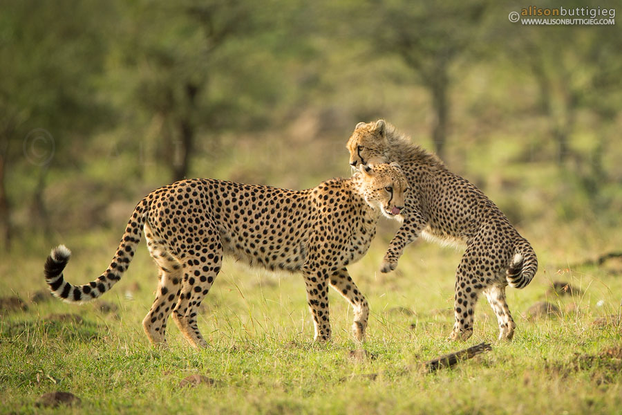 Cheetahs at play in the Masai Mara, Kenya