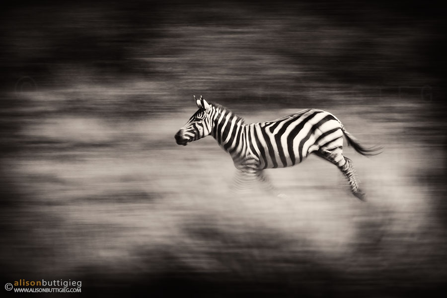 Galloping Stripes