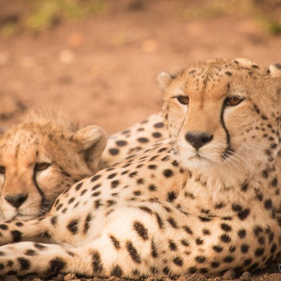 meet-amani-the-cheetah-and-her-cub-masai-mara-hd