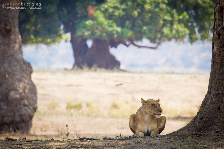 Lioness in Mana Pools