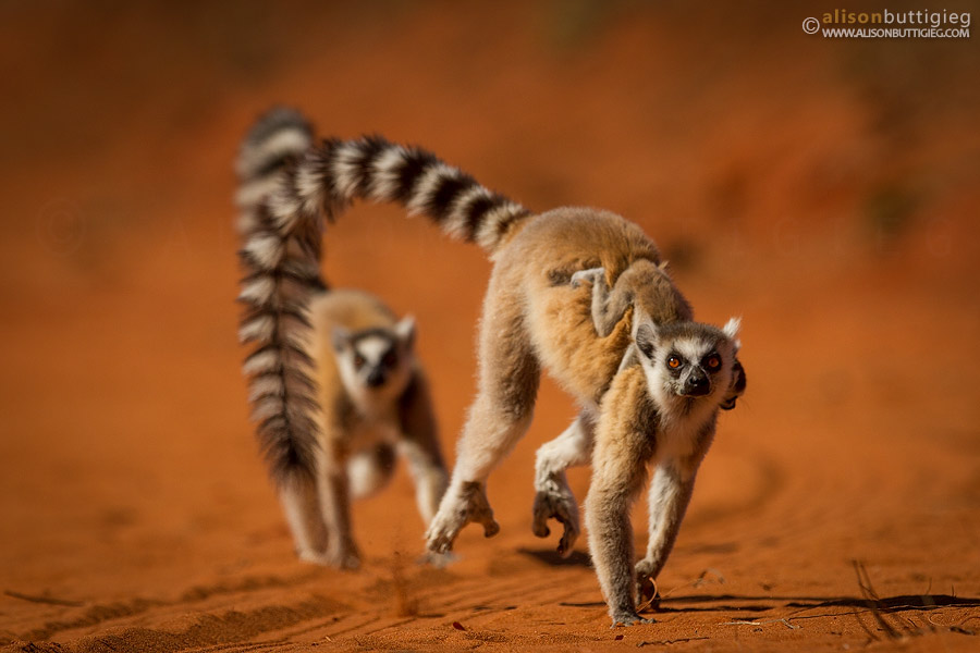 Ring Tailed Lemurs - Berenty, Madagascar