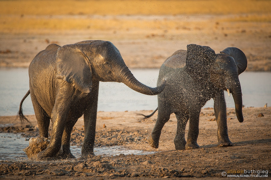 Elephants playing in Hwange, Zimbabwe
