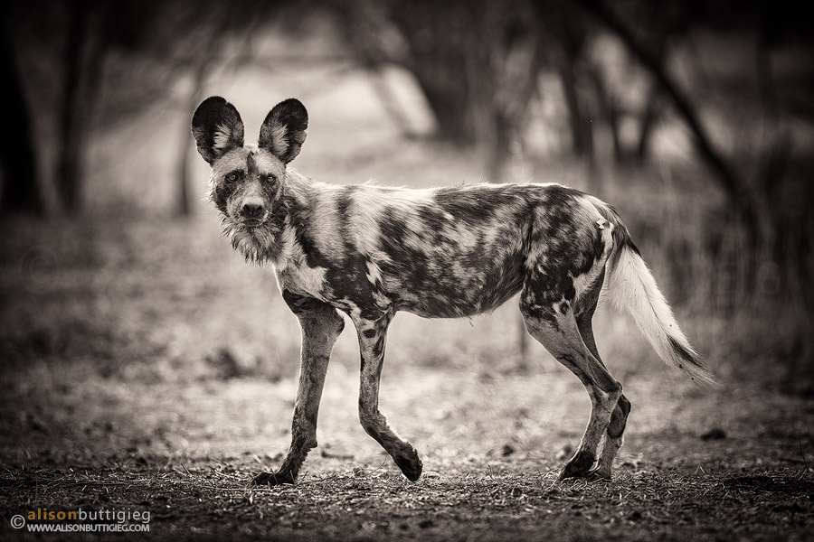 Wild Dog - Mana Pools, Zimbabwe