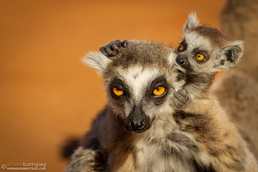 Ring-Tailed Lemurs, Berenty, Madagascar
