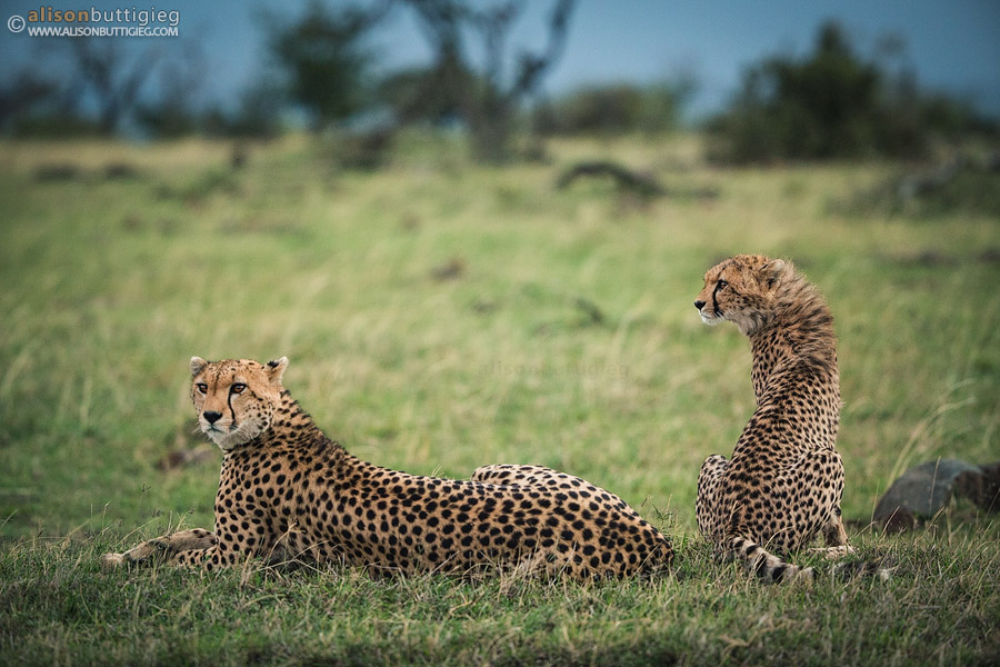 Cheetah Duo