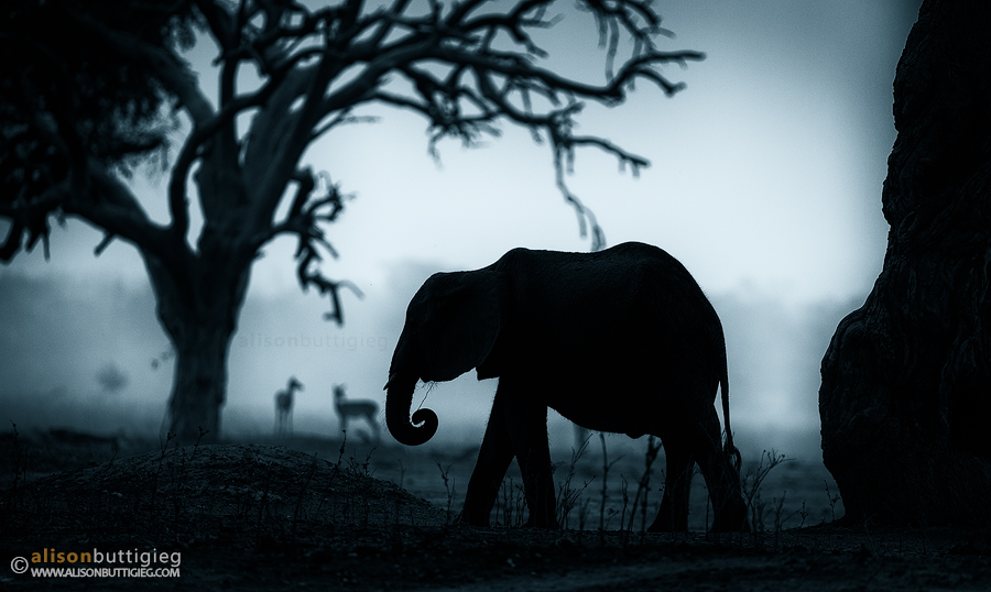 Elephant - Mana Pools, Zimbabwe