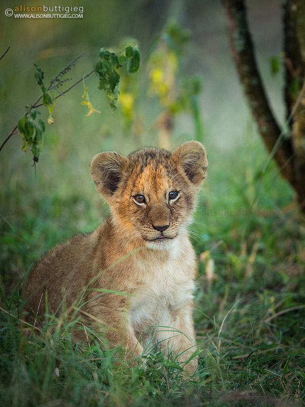 Little lion cub in the Masai Mara, Kenya