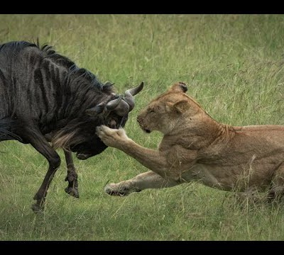 a-pride-of-lions-one-wildebeest-and-heavy-rain-masai-mara-hd