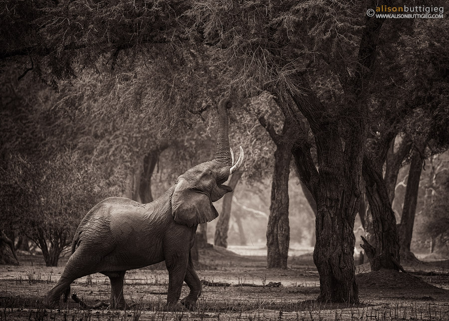 Big Vic - Mana Pools, Zimbabwe (Monochrome Version)