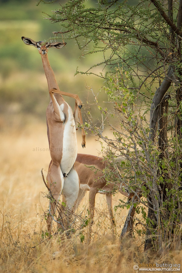 Generuk standing on its hind legs.  Samburu, Kenya.