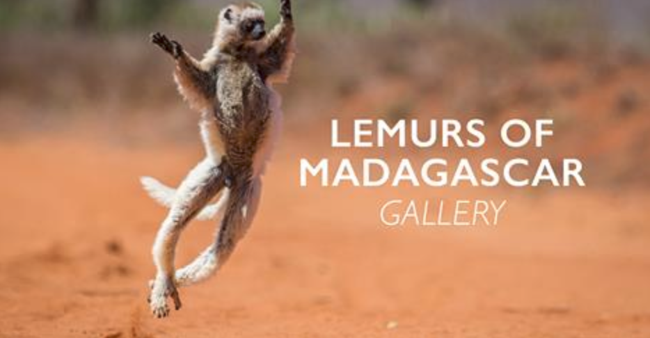 My lemur gallery in the Africa Geographic Magazine