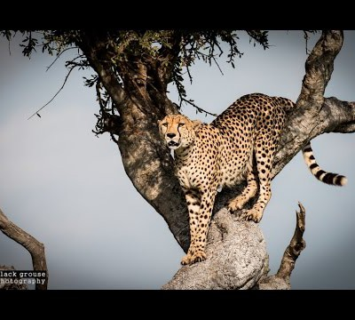 meet-the-oloololo-male-cheetahs-masai-mara-2015-hd