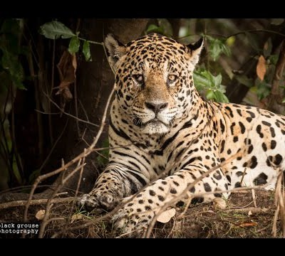 meet-the-wildlife-of-the-pantanal-the-jaguar-zone-hd