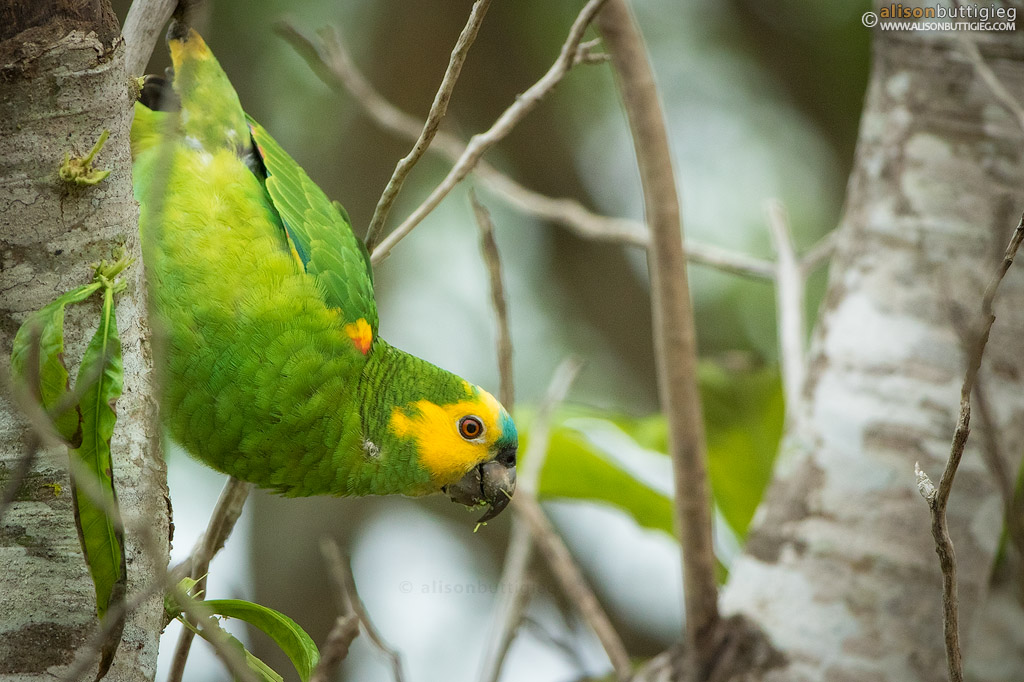 Blue Fronted Amazon Parrot - Pantanal, Brazil